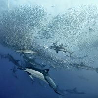 sardine run dauphins et requins