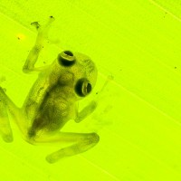 cricket glass frog, Hyalinobatrachium colymbiphyllum