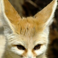 Le Fennec : So cute