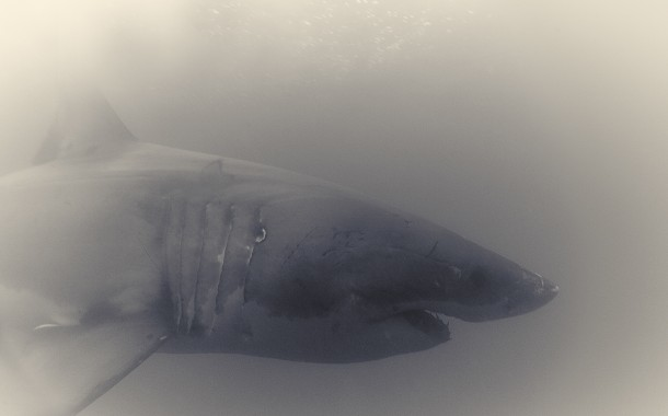 Great White Shark : Une impressionante série de clichés du grand requin blanc